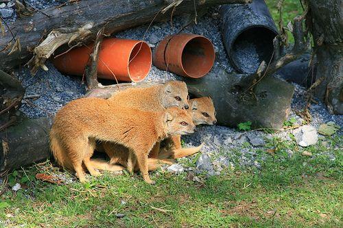 A sárga mongúz a népszerű szurikáta rokona