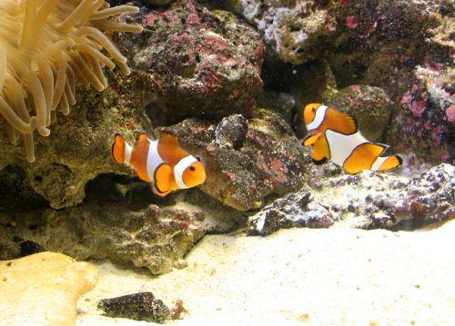 Tengerirózsa bohóchalak társaságában