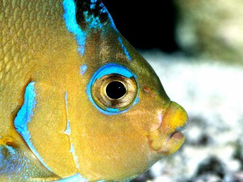 Kék-sárga hal