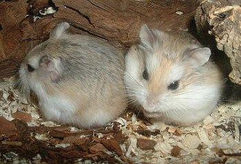 Roborovszki törpe hörcsög pár