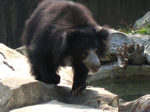 ajakos-medve