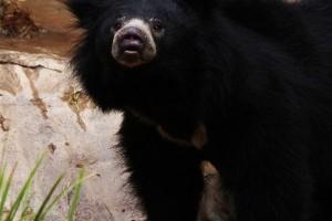 Az ajakos medve (Melursus ursinus)