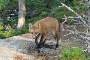 A veszélyes vörös róka (Vulpes vulpes)