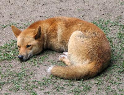 ausztraliai-dingo