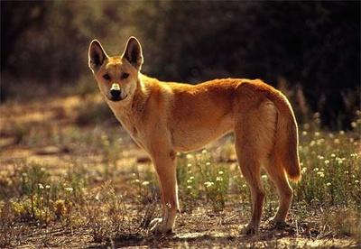 dingo-kutya