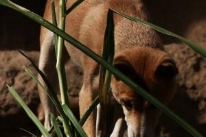 A dingó (Canis lupus dingo) – Ausztrália vad kutyája