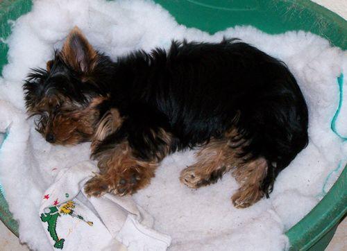 Yorkie alszik