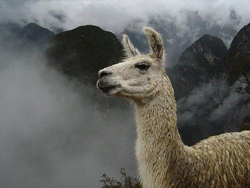 Láma az Andokban