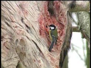 Vannak vadászok, akik faggyús állatbőr lakomával várják a madarakat