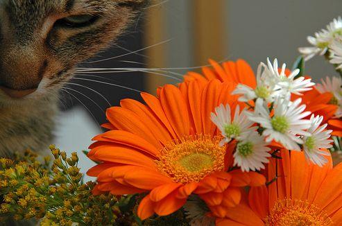 macska, cica, virág