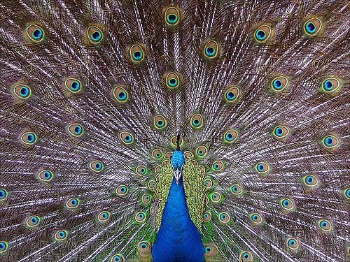 Indiai páva (Pavo cristatus)