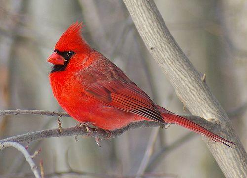 Kardinálispinty (Cardinalis)