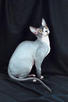 A macskarajongók nagy kedvence, a szfinx