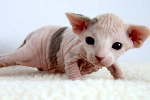 Szfinx kiscica
