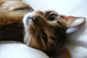 Az abesszin cica
