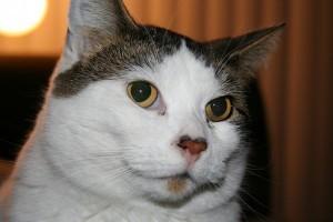 Idegen anyagok eltávolítása a macska bundájából