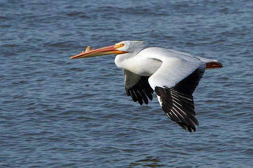 Orrszarvú pelikán repülés közben