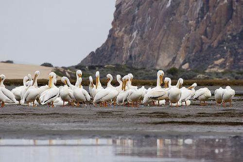Orrszarvú pelikán csapat