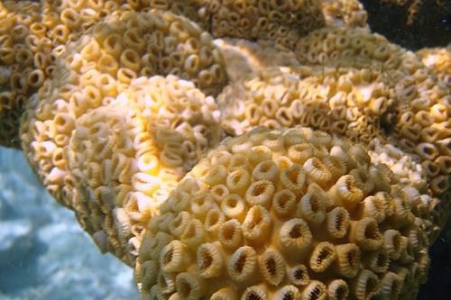 akvariumi-korall