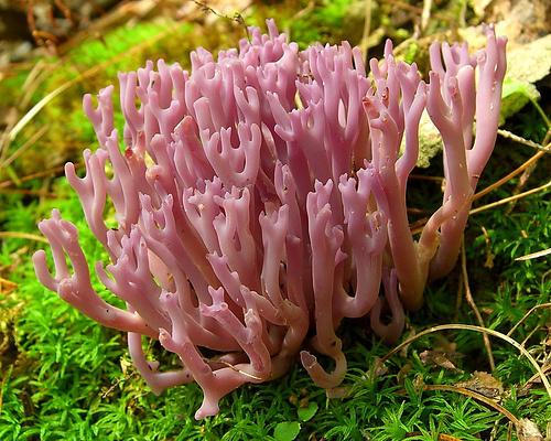 rozsaszin-korall