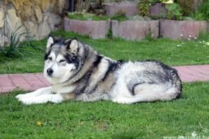 Kinek való az alaszkai malamut?