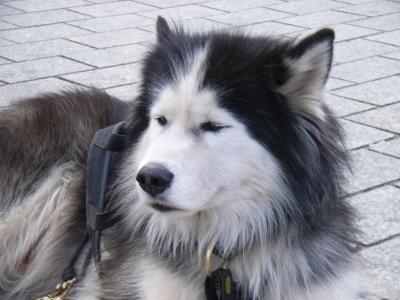 szoros-alaszkai-malamut
