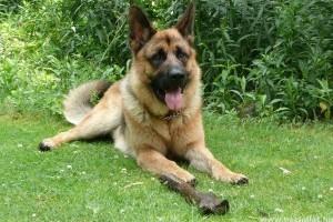 A német juhászkutya rendszeres ápolást kíván