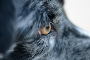 Szemhályog a kutyáknál