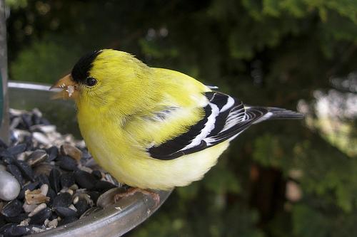 Aranycsíz madár