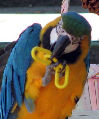Az arapapagáj játékos és törődést igénylő madár