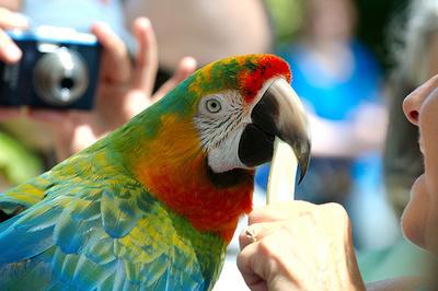 papagaj-etetes