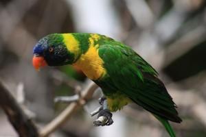 Részeg papagájok Ausztráliában