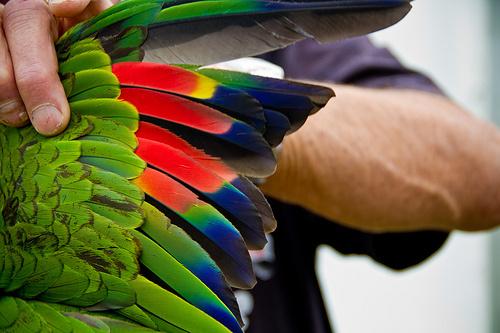 papagaj-szarny