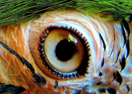 papagaj-szeme