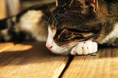 cukorbeteg-macska