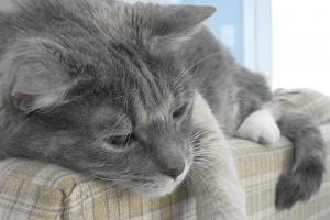 A cukorbetegség első jelei a macskáknál (prediabetes)