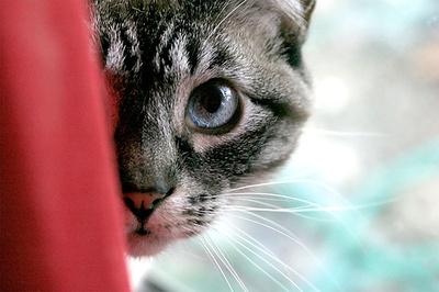 kukucskalo-cica