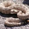 A szarvas csörgőkígyó (Crotalus cerastes)