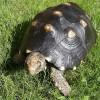 A fekete teknős vagy szenes teknős (Geochelone carbonaria)