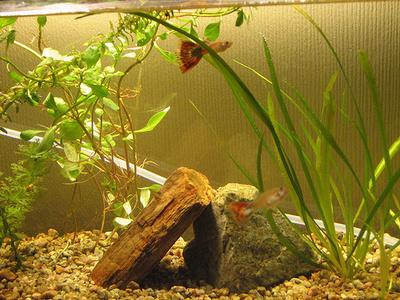 guppi-akvarium