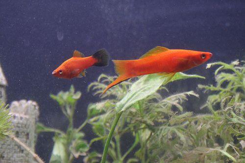 Kardfarkú és molly egy akváriumban
