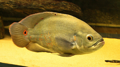 Marvanysuger, egy tengeri halfajta