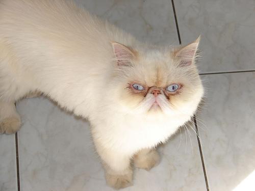 Dühös cica