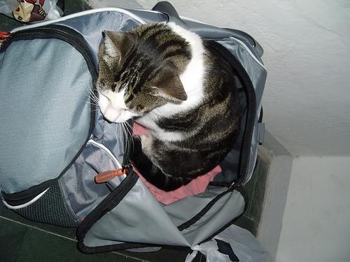 Macska a taskaban