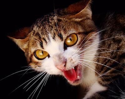 veszedelmes-cica