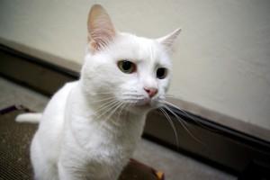 A tiffany/chantilly cicával kapcsolatos kérdések és válaszok