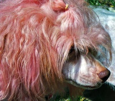rozsaszin-kutya