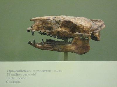 hyracotherium-koponya