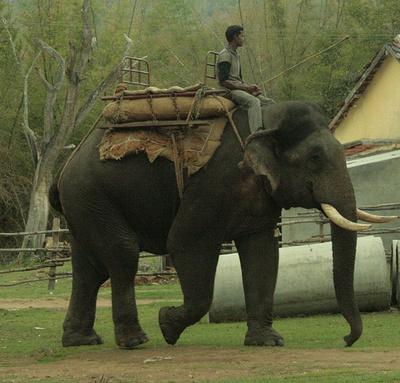 azsiai-elefant