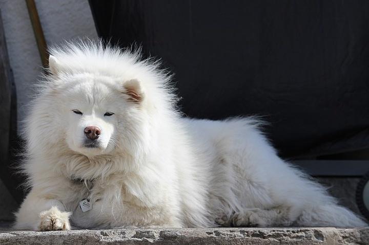 samoyed_szamojed_kutyafajta